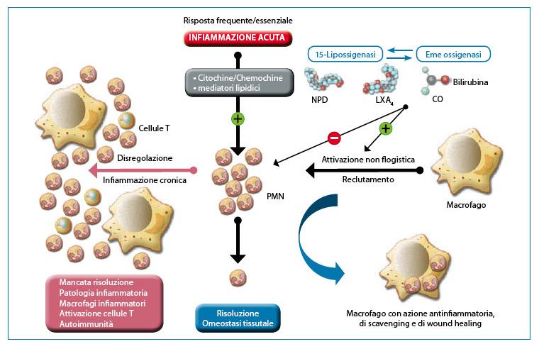 """Fig. 2. L'infiammazione utile richiede una risoluzione attiva. I tessuti sperimentano una frequente infiammazione acuta in risposta a lesioni, stress o infezione. Il reclutamento dei PMN nel letto vascolare è avviato e amplificato da circuiti pro-infiammatori ben strutturati ed organizzati. La corretta esecuzione dell'infiammazione acuta necessita di fagocitosi dei PMN da parte dei macrofagi, una risposta non infiammatoria. La fagocitosi dei PMN induce la formazione di mediatori anti-infiammatori per ripristinare la normale funzionalità del tessuto. Circuiti residenti nella cornea, uvea e retina, ossia il 15-LOX e/o HO producono autacoidi che contro-regolano i circuiti pro-infiammatori, riducono l'infiltrazione PMN e attivano i macrofagi per la rimozione di PMN. La disregolazione di questo processo fondamentale pone le basi per lo sviluppo di una malattia infiammatoria. Modificata da: Gronert K. """"Resolution, the grail for healthy ocular inflammation"""". Exp. Eye Res. 2010; 91(4):478-85."""